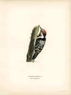 Lesser spotted woodpecker (Dryobates minor) illustrated by the von Wright brothers. Digitally enhanced from our own 1929 folio version of Svenska Få Vintage Birds, Vintage Images, Vintage Bird Illustration, Spotted Woodpecker, Wright Brothers, Closer To Nature, Old Paper, Free Illustrations, History Books