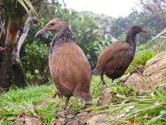 The Endangered ~ Woodhen