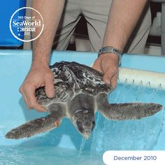 This young sea turtle was one of several rescued that experienced cold stress during a cold snap. Turtles experiencing cold stress often float listlessly at the surface and look to be stunned. Our Rescue and Rehabilitation Team provides care for these turtles while they recover before returning them to the wild. #365DaysOfRescue