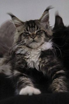 My goodness, such a gorgeous Maine Coon