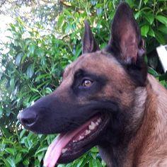 Lbigoud 😊😊 ##doglover #dogs #dog #doglove #chien #dogoftheday #hund #animal  #mydog  #malinois #ilovemydog #chihuahua #愛犬 #チワワ #멍스타그램 #반려견 #멍멍이 #애견 #doggy  #sweetdog #치와와 #собака #チワワ部 #mylovelydog #ちわわ #чихуахуа #ちわわ部  #多頭飼い  #pet #sunsetlovers