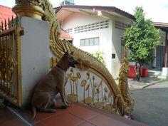 Счастливые  собаки  Таиланда.