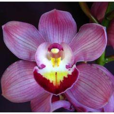 Purple Pink Cymbidium Orchids Burgundy Lip Belladonna 250