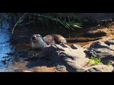 Two Cape Clawless Otters feeding on a catfish in the Sabie River in Krug...