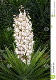 A beautiful yucca plant displays many white flower blossoms on a tall spike in summer. Description from dreamstime.com. I searched for this on bing.com/images