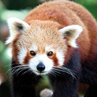 Red Panda at Brookfield Zoo in Chicago, IL
