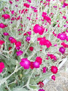 Rose Campion (Lychnis coronaria) is a wonderful old world plannt with silver felted foliage topped with glowing magenta flowers. A wonderful backdrop to other flowering perennials. Tolerant of very poor conditions, and requiring only maintenance watering in the hottest months.