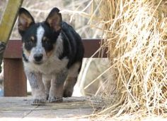 I think my next dog is going to be a Cowboy Corgi.  I want a red one though.