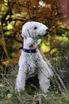 Bedlington Terrier dog art portraits, photographs, information and just plain fun. Also see how artist Kline draws his dog art from only words at drawDOGS.com #drawDOGS http://drawdogs.com/product/dog-art/bedlington-terrier-dog-portrait-by-stephen-kline/