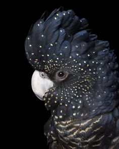 Female Red-tailed Black-Cockatoo (Calyptorhynchus banksi) in Australia by Alex Cearns. Pretty Birds, Beautiful Birds, Animals Beautiful, Animals Amazing, Exotic Birds, Colorful Birds, Exotic Pets, Animals And Pets, Cute Animals