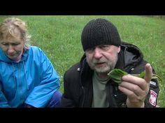 Kobylak czyli szczaw kędzierzawy - najlepszy antybiotyk z łąki Avocado, Youtube, Dish, Lawyer, Youtubers, Youtube Movies