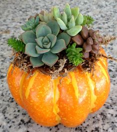 living succulents in a pumpkin, Wedding, Fall Wedding gifts, Thanksgiving centerpiece, Thanksgiving Succulent Arrangements, Wedding Arrangements, Succulents Garden, Mini Pumpkins, Fall Pumpkins, Halloween Pumpkins, Halloween Party, Cactus, Pumpkin Wedding