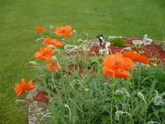 More of my Poppies! Love them!