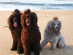 Poodles in Scandinavia