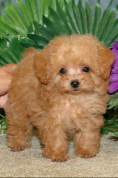 8 week old teacup poodle