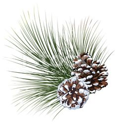 Snowy Pine Evergreen Sprig with Pinecones isolated on White royalty-free stock vector art