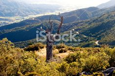 Knarled and Twisted Dead Podocarp Tree, Golden Bay Royalty Free Stock Photo