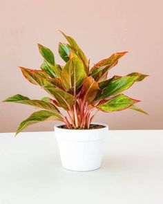 "Lively Root posted on Instagram: ""And the plant of the week is.... The Aglaonema Red Siam 🌱 This beauty is now 25% off this week…"" • See all of @livelyroot's photos and videos on their profile."