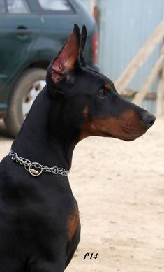 Stunning #Doberman's head