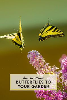 Are you wondering how to attract butterflies to your garden? Hillary Truslow of Mass Audbon shares some butterfly facts and garden recommendations: Butterfly Facts, Chive Blossom, Kids Sprinkler, Swamp Milkweed, Small Backyard Design, Finding Love, Types Of Flowers, Zinnias, Outdoor Plants
