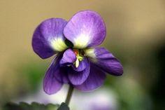 Da sempre il significato delle viole è legato all'amore: ecco perchè...
