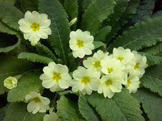 Primavera - Prímulas amarillas