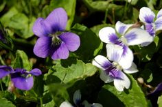 Wild Violets & how they can benefit you