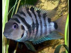 Black Convict Cichlid Life Cycle - They All Grow Up - YouTube