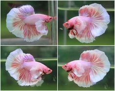 Pink Big Ear Male Betta.