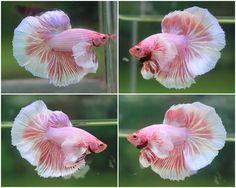 Pink Big Ear Male Betta.