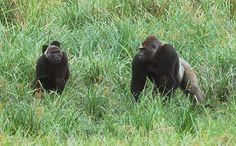 Western lowland gorillas in Ivindo National Park, Gabon