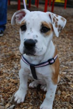 Beabull Pup