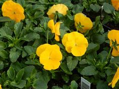 Bulk Pansy Seeds 500 Pansy Delta Golden Yellow