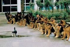 poster german shepherd police dogs and kitten | PetDogShop.Info: May 2010