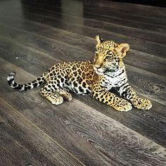 Beautiful Baby Jade ❤️ #babyjadebjwt #savejaguars #behuman #saveourplanet #notpets #nosonmascotas #rescuedjaguars #cute #jaguar #boycottcircus #blackjaguarwhitetiger  Pic by @luceritoam