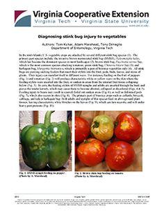 Diagnosing stink bug injury to vegetables https://pubs.ext.vt.edu/ENTO/ENTO-173/ENTO-173.html? #stinkbuginjury #stinkbug #vegetables