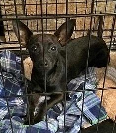 Pictures of Ana a Chihuahua for adoption in New York, NY who needs a loving home.