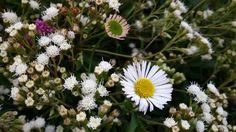 the beautiful Daisy flowers. Dieng, Central Java, Indonesia. #VisitIndonesia
