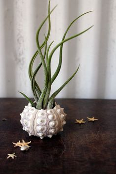 tentacle . air plant .  jellyfish . tillandsia garden urchin. $20.00, via Etsy.