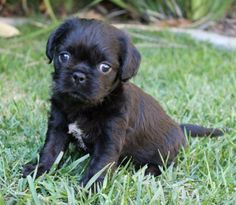 This little pug-border terrier pup is looking for a forever home!  More info at CuddlyCanines.com