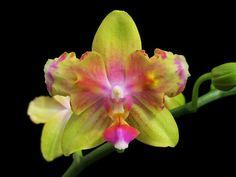 Doritaenopsis I-Hsin Venus 'IS1442'  (Doritaenopsis Dragon's Gold X Doritaenopsis I-Hsin Viola Tris)