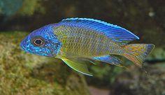 chilumba peacock cichlid - Google Search