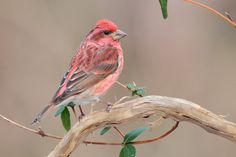 The cute little Purple Finch stays year round with me. Enjoy watching their color come on.