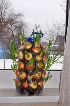 how to grow onions Vertically on a windowsill diy garden plants Growing Onions Vertically On The Windowsill Growing Onions, Growing Veggies, Growing Plants, Vegetable Garden, Garden Plants, Indoor Plants, Diy Garden, Herb Garden, Container Gardening