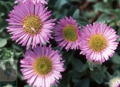 Erigeron glaucus 'Sea Breeze' beach aster. A low-growing spreading per