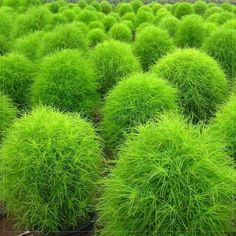 Amazon.com : Best Garden Seeds orginal Kochia Scoparia Summer Cypress Annual Plant Seeds, 150 Seeds, green red for your choice ornamental plant : Patio, Lawn & Garden