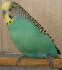 Image Detail for - Left: a sky blue budgie with yellow-face type 1. The colour of the ...