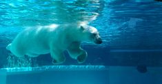 Experience Chicago's cultural scene for free at these museums and attractions in the Windy City Big Animals, Arctic Animals, Polar Bears For Kids, Polar Bear Wallpaper, Lincoln Park Zoo Chicago, Camping In Illinois, Half Moon Bay Camping, Beaches Near Me, Chicago Museums