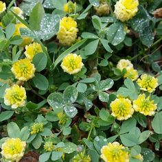Trifolium campestre (trébol amarillo) Gran Canaria by Michel Eamon 2015 #florasilvestre #floracanaria