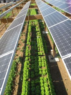 Combining-solar-photovoltaic-panels-and-food-crops-for-optimising-land-use-Towards-new-agrivoltaic-schemesTHREE